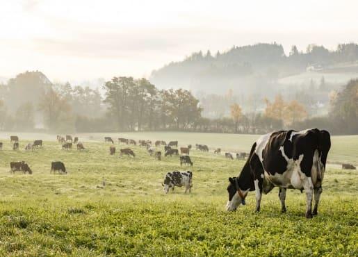 krowy-na-pastwisku